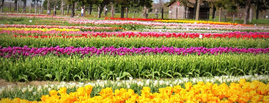 Frolic Amongst The Tulips In Your Wooden Shoes - A Trip to Holland, Michigan