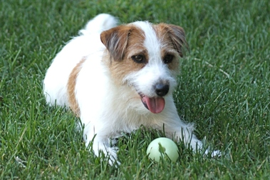 Thee Rock Jack Russell Terrier